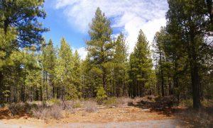 Fire Mitigation Ponderosa Pines Property Tree Thinning Companies